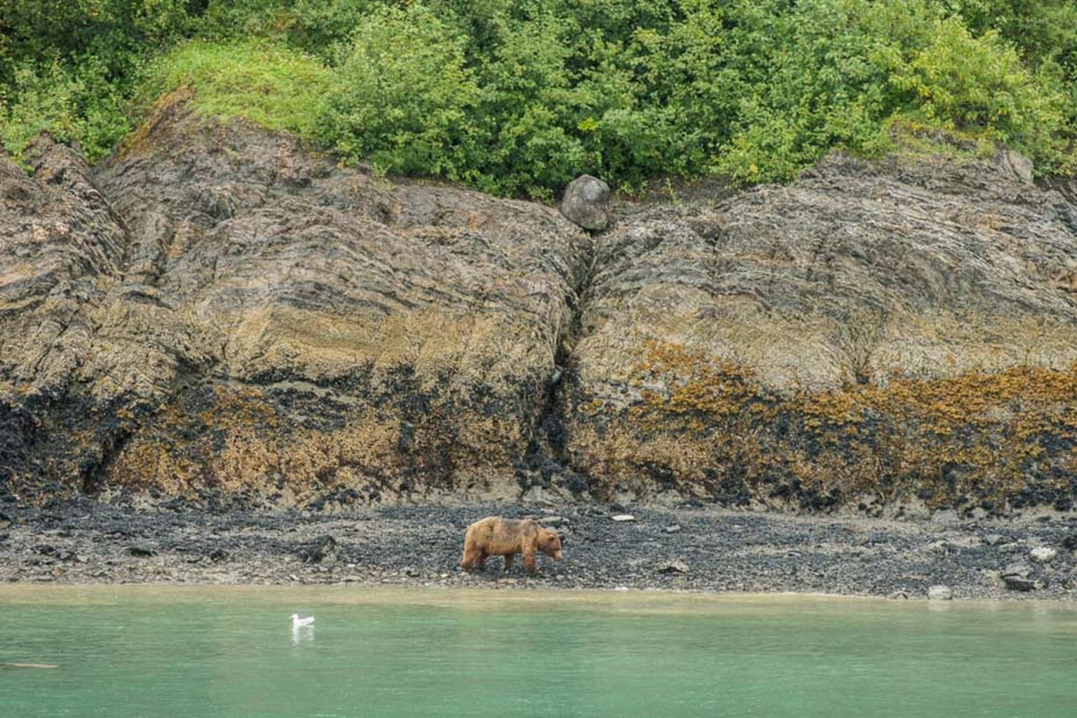 Glacier Bay National Park is home to many species, including the brown bear, which is free to roam the immense forests and drink from the unpolluted freshwater lakes.